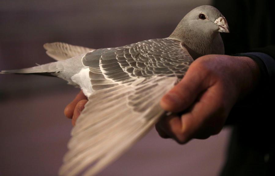 Символ мира: голубь арестован по подозрению в шпионаже в Индии