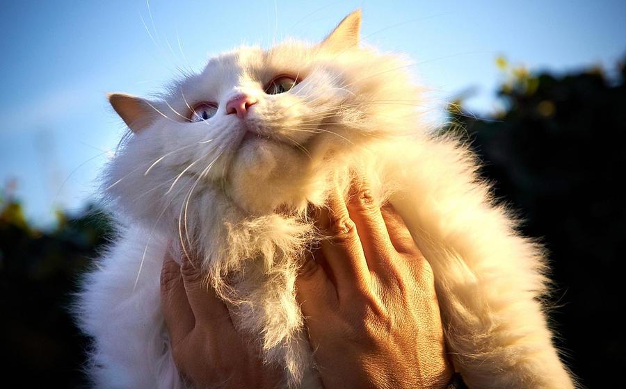 Британские биологи разрабатывают методы лечения аллергии на кошек