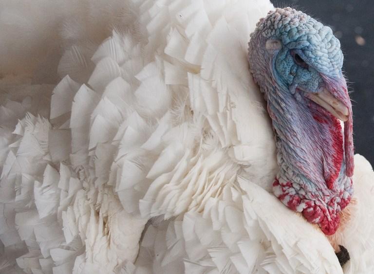 Защитники животных просят Обаму отказаться от индейки в День благодарения