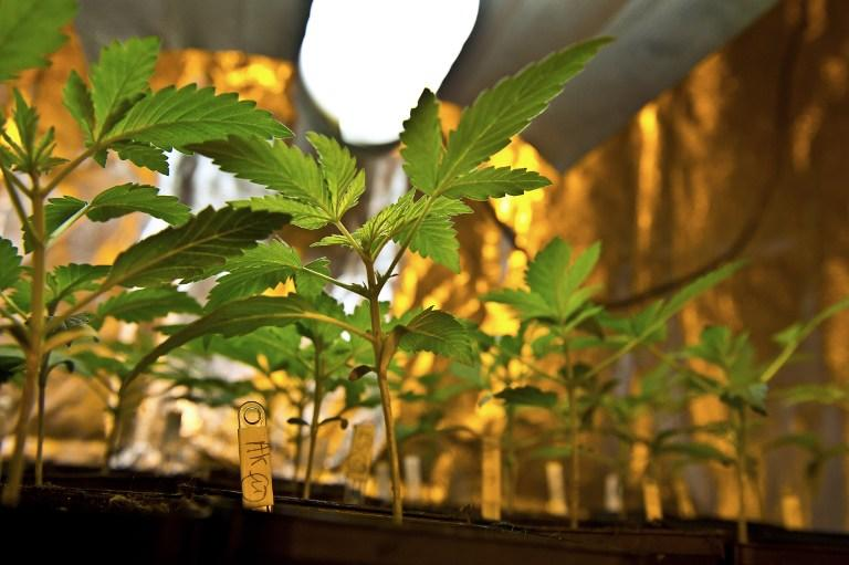 Во Франции одобрили медикаменты на основе марихуаны