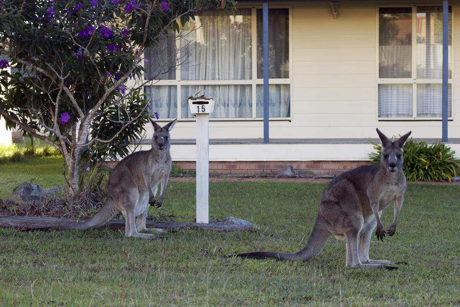В Австралии разрешено отстреливать кенгуру