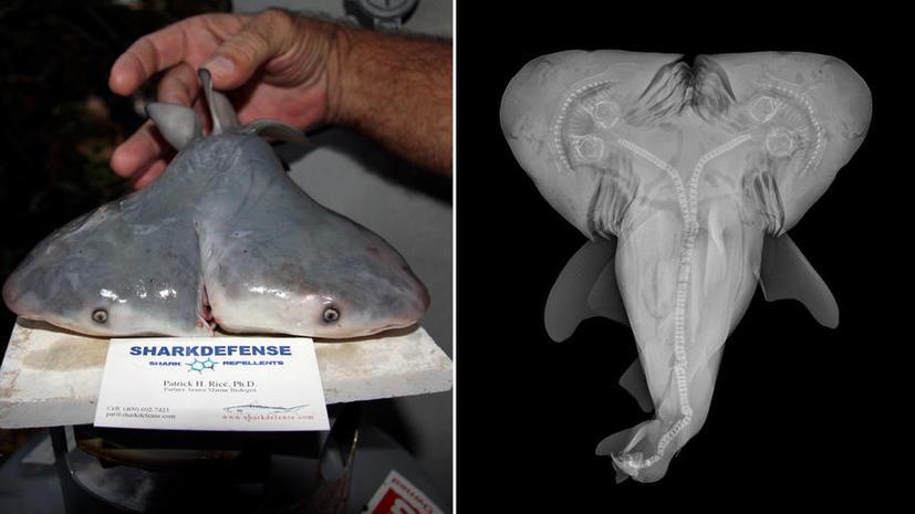 Ученые подтвердили находку двухголовой тупорылой акулы
