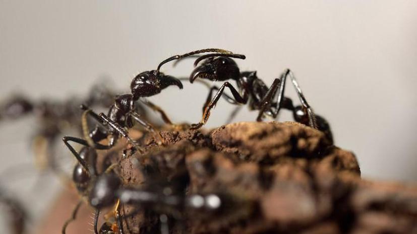 В США «сумасшедшие» муравьи уничтожают «красных»