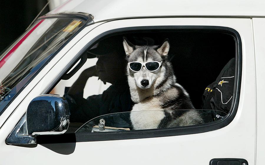 Лайка села за руль автомобиля, чтобы спасти других животных из ловушки