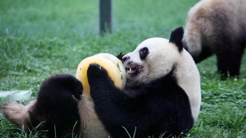 В Китае запущен сайт iPanda, транслирующий повседневную жизнь бамбуковых медведей