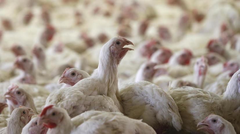 Российские учёные нашли неизвестную ранее болезнь кур