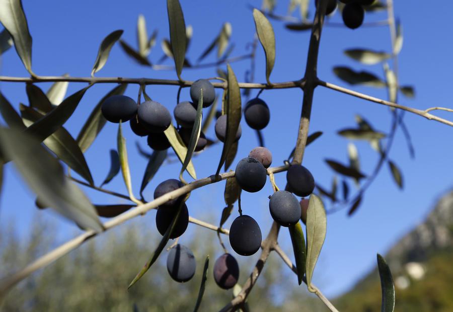 СМИ: В Италии новая бактерия массово уничтожает оливковые деревья
