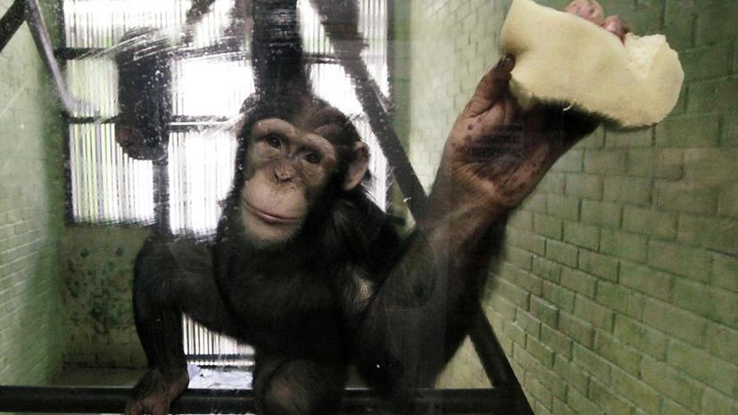 Шимпанзе думают быстрее людей и не заботятся о прошлом