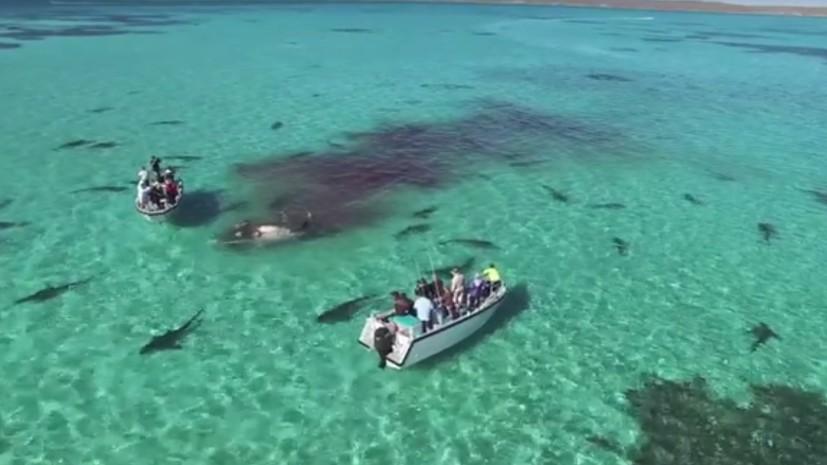 В соцсетях появилось видео, как 70 акул поедают кита на глазах у туристов