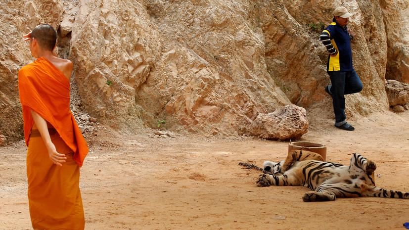 В тайском монастыре найдены ещё 30 мёртвых тигрят