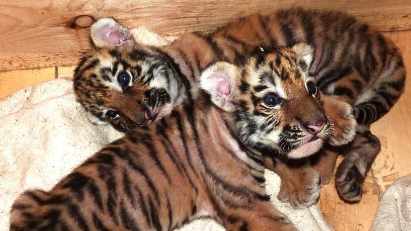 Собака Дора взяла на воспитание брошенных тигрят в Омской области