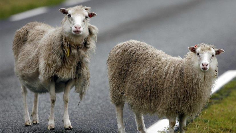 Овцы с Фарерских островов запишут панорамное видео для Google Street View