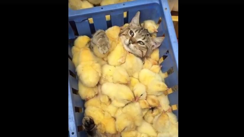 Кот отдыхает на дне ящика с цыплятами