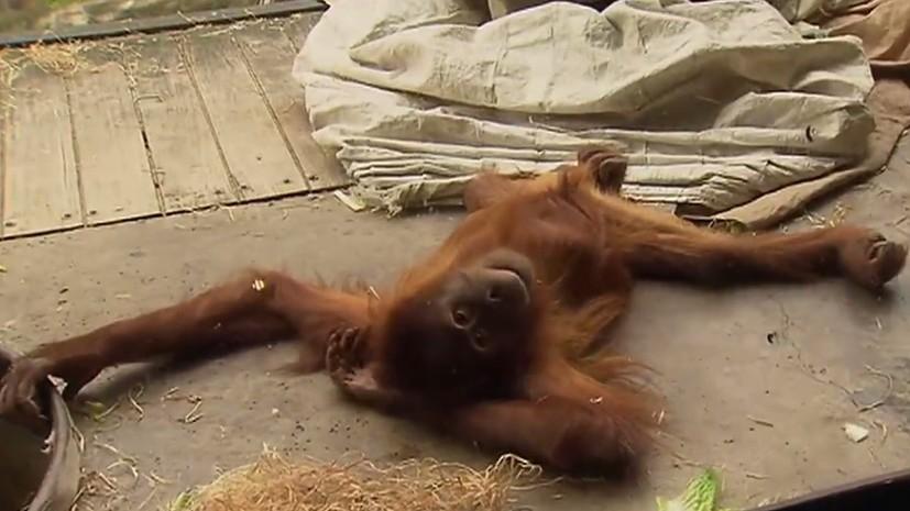 Ничего необычного, просто орангутан танцует брейк-данс