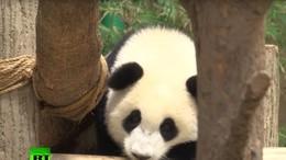 В зоопарке Малайзии панда получила в подарок на десятилетие торт