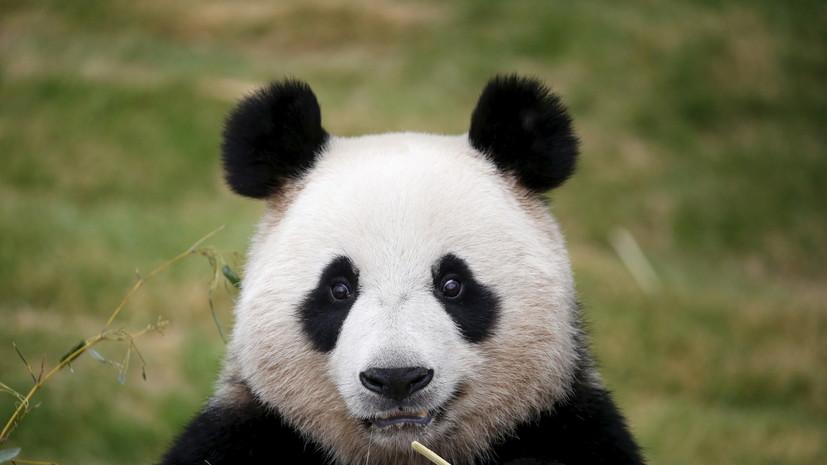 Большие панды перестали быть вымирающим видом в Красной книге