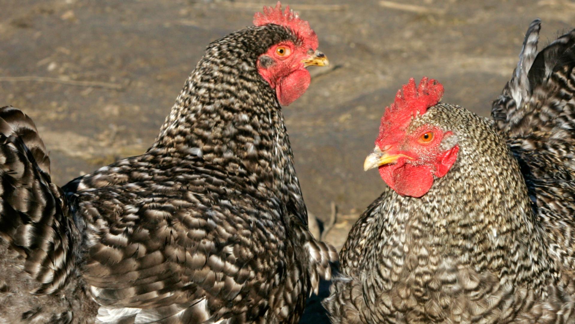 Птичка божия: как церковные реформы Х века повлияли на генетику кур