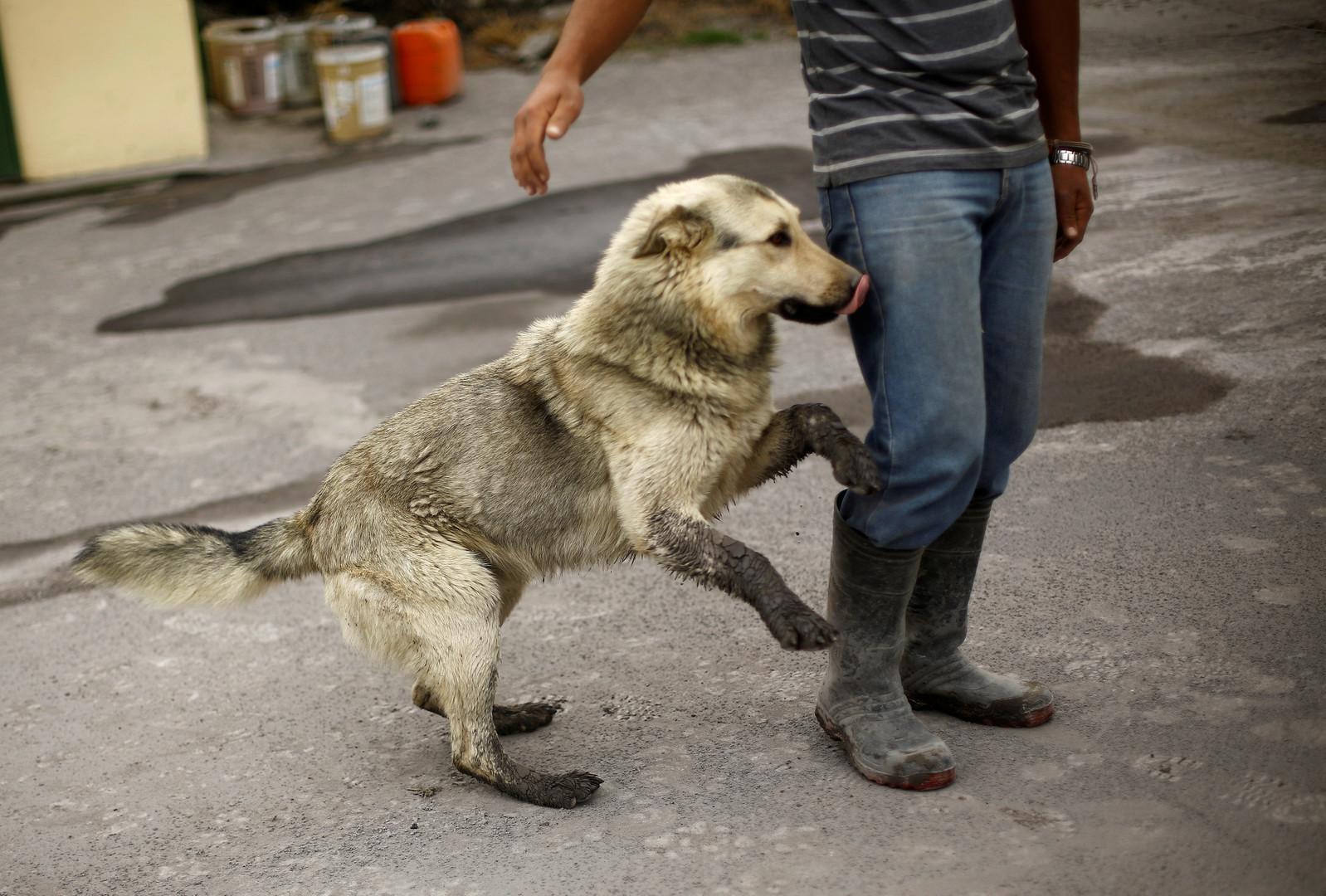 Собака с хозяином на улицах Сан-Хосе после извержения вулкана Турриальба.