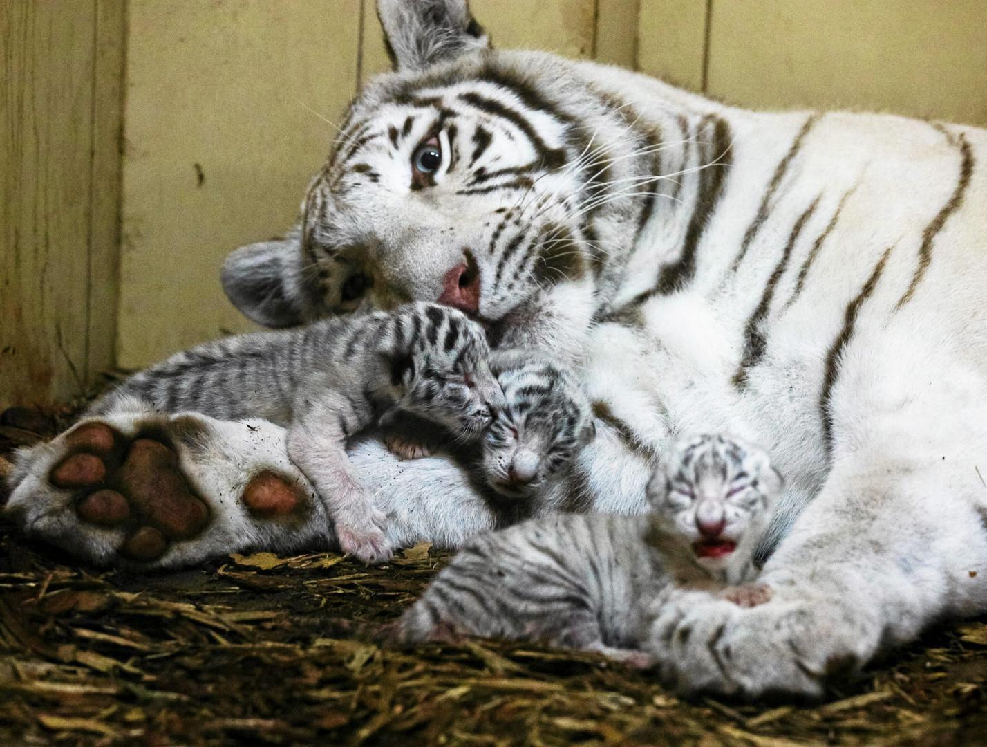 В зоопарке польского города Борысев самка белого бенгальского тигра принесла потомство.