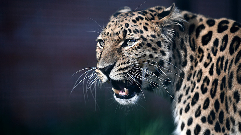 Фотоучёт: Россия и Китай заведут дальневосточным леопардам и амурским тиграм паспорта