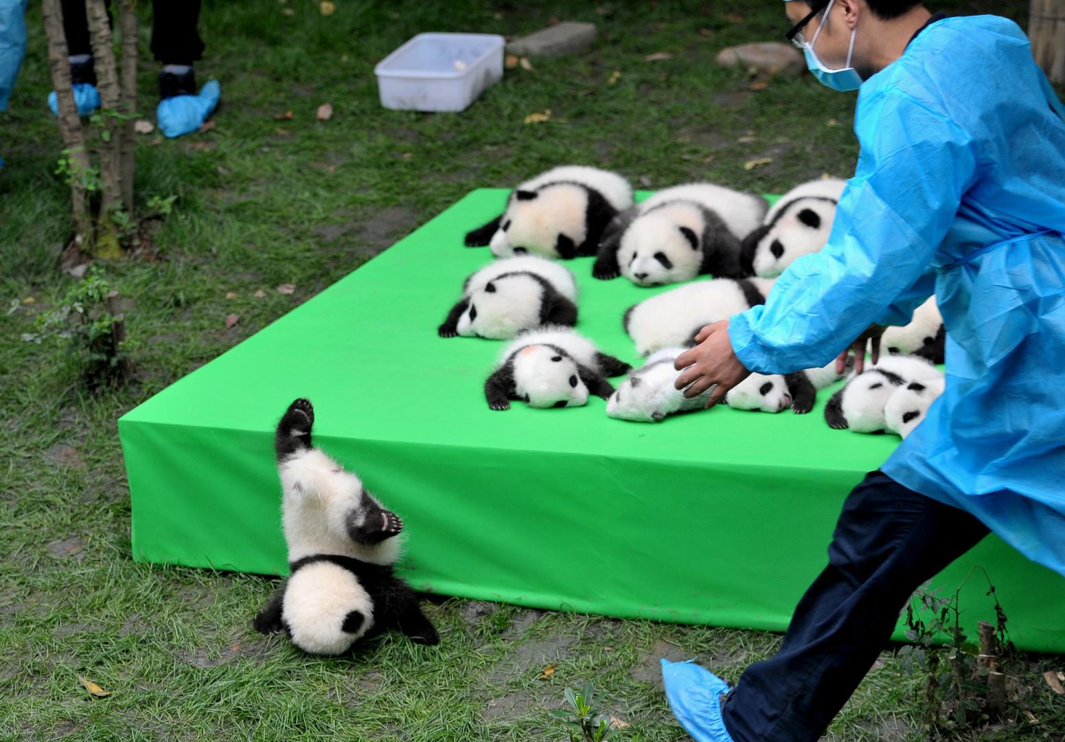 Детёныш большой панды пытается сбежать с помоста, на котором разместили 23 медвежат, родившихся в 2016 году в Чэнду, Китай.