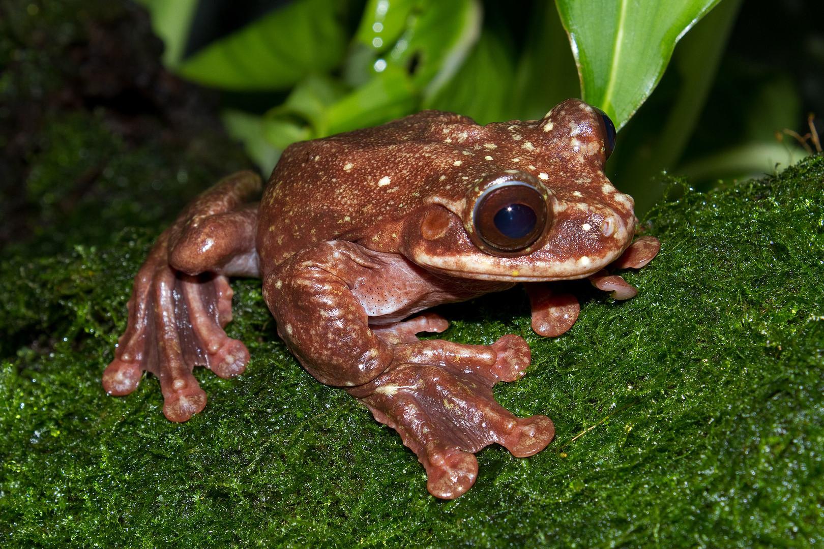 В США в неволе умерла последняя в мире лягушка Раббса