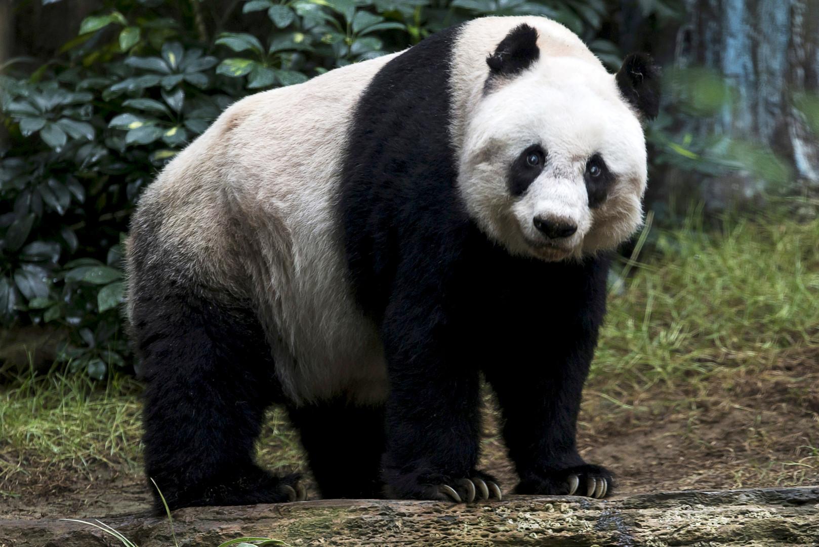 Вес панды составлял чуть больше 70 кг.