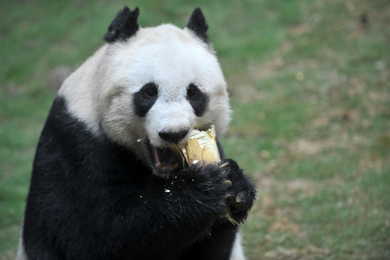 Обед Цзя Цзя. 2 апреля 2012 года.