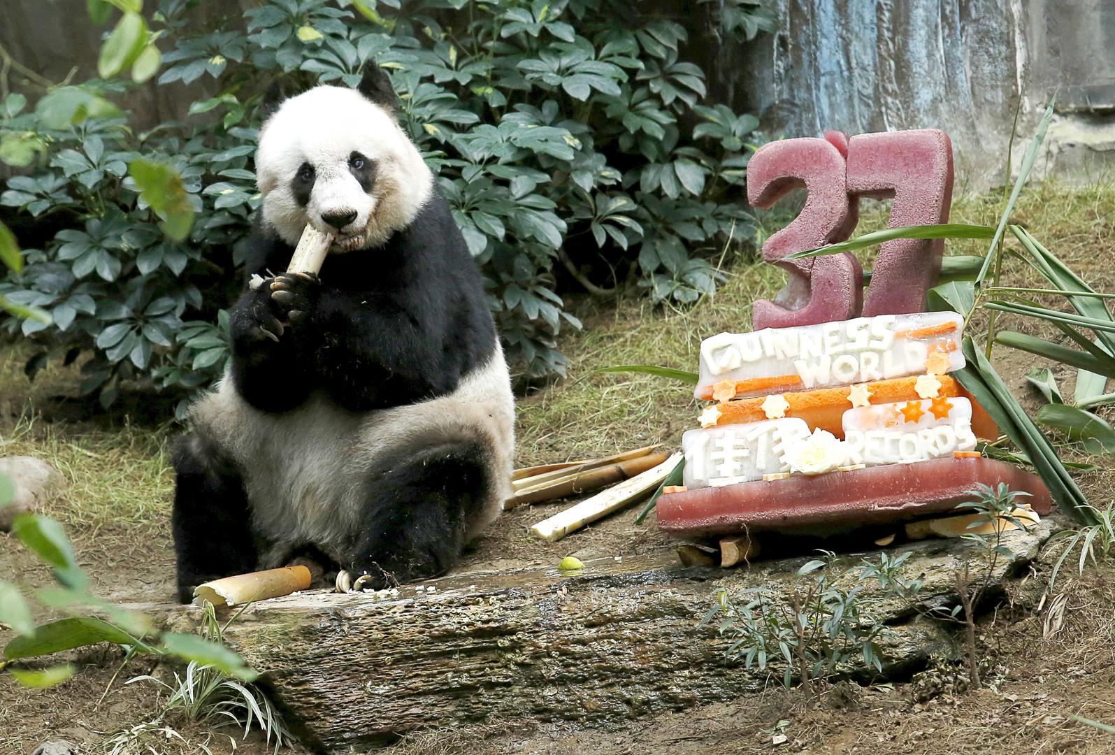 37-й день рождения панды.