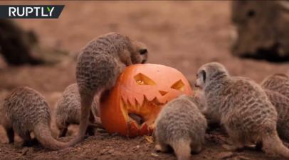 Обитатели британского зоопарка отметили Хэллоуин