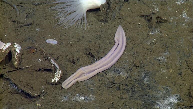 Новый вид морского червя Xenoturbella