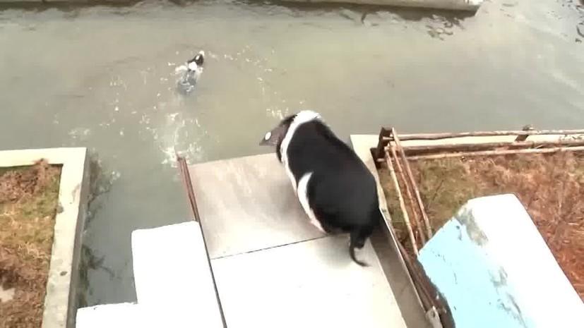Китайский фермер устроил аквапарк для свиней