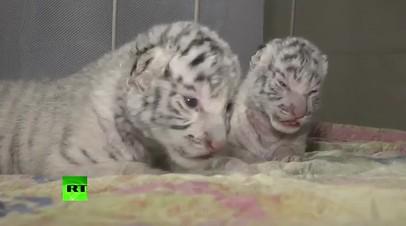 Сразу три редких белых тигренка родились в зоопарке в Крыму