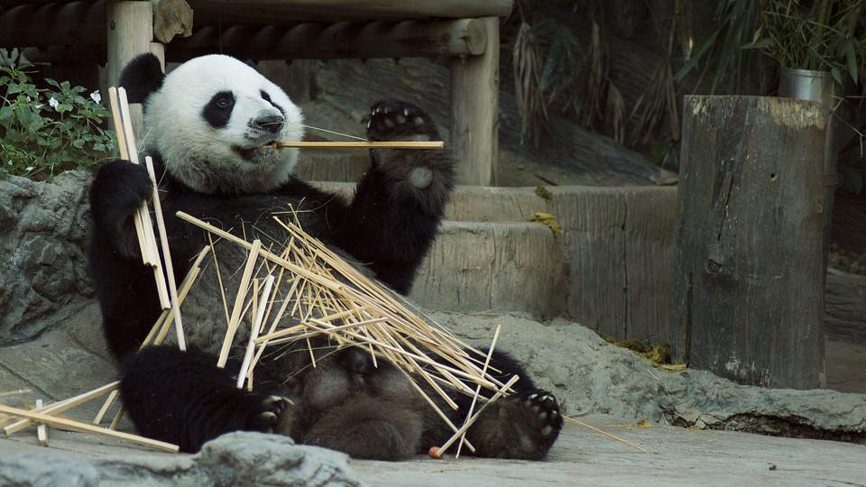 Спасая бамбуковых медведей: фильм RTД о китайском центре по разведению панд