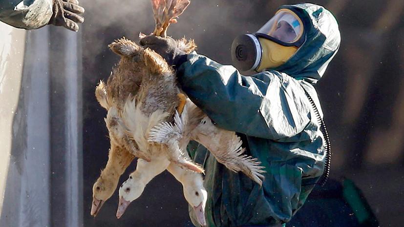 Ни пуха, ни пера, ни мяса: Россельхознадзор запретит импорт птицы из Европы