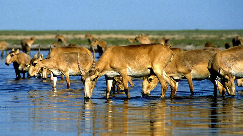 Антибраконьеры за антилоп: Минприроды занесёт сайгаков в Красную книгу России