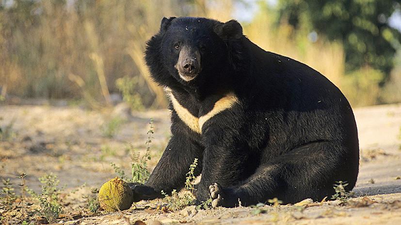 Гималайский медведь и серый гусь могут попасть в Красную книгу