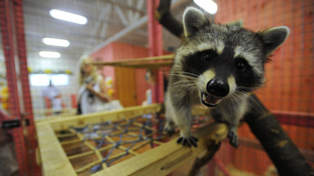 Еноты без работы: в контактных зоопарках могут запретить содержание экзотических животных