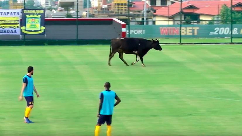 Корова на футбольном поле, «беременность» Липницкой и розыгрыш от двойника Месси: необычные события спортивной недели