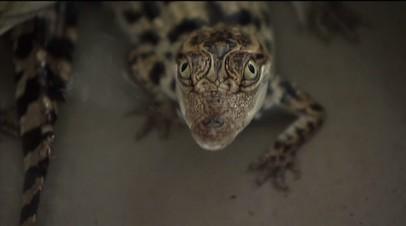 Яйца редчайшего крокодила найдены в Камбодже