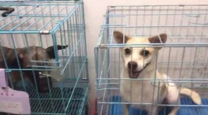 Российские волонтёры спасли от жестокой расправы больше тысячи собак в КНР