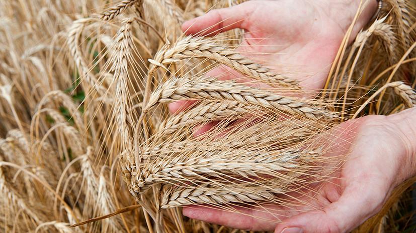 Злачный сезон: почему холодное лето не остановило рост производства зерна в России