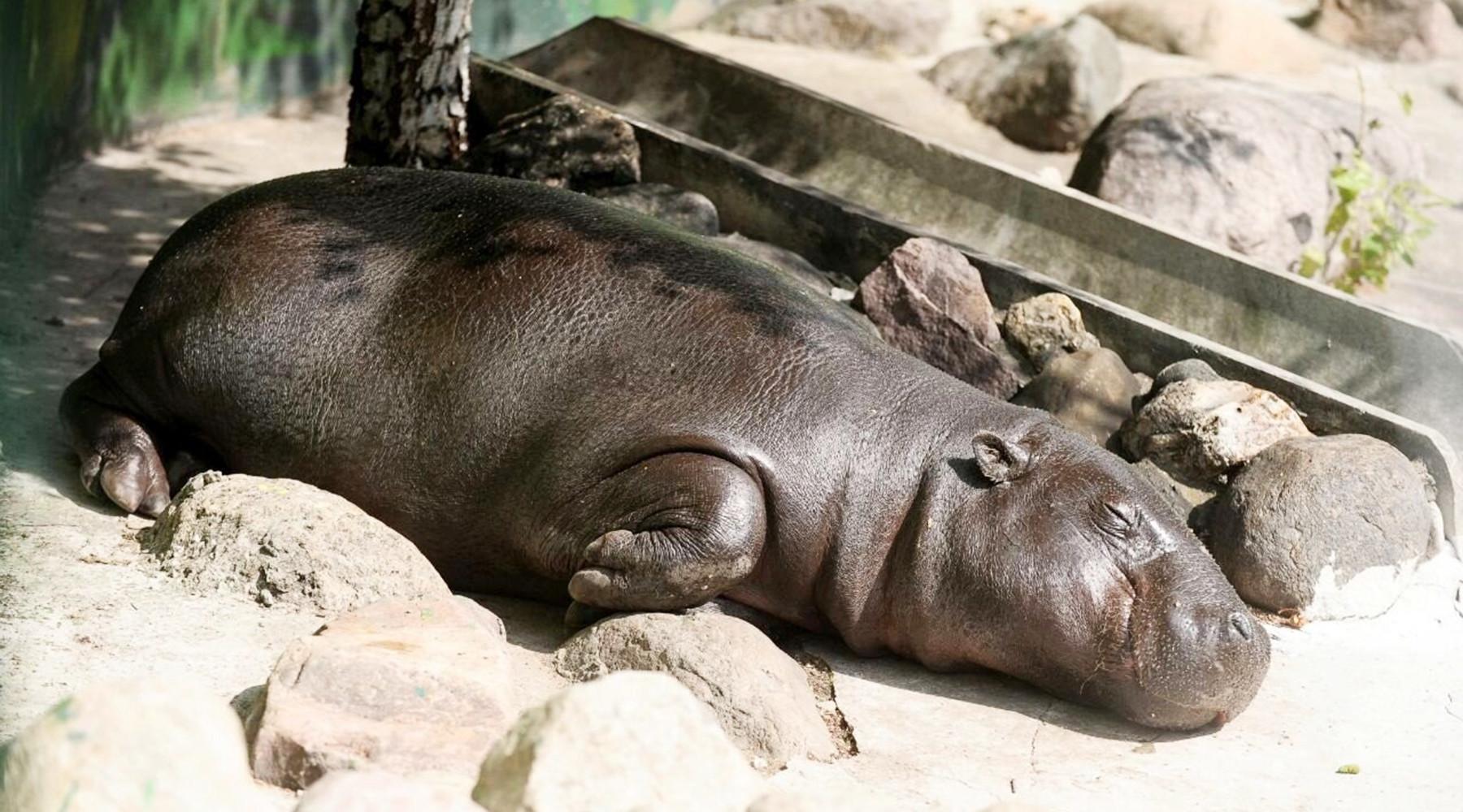 Карликового бегемота из московского зоопарка назвали Ксюшей