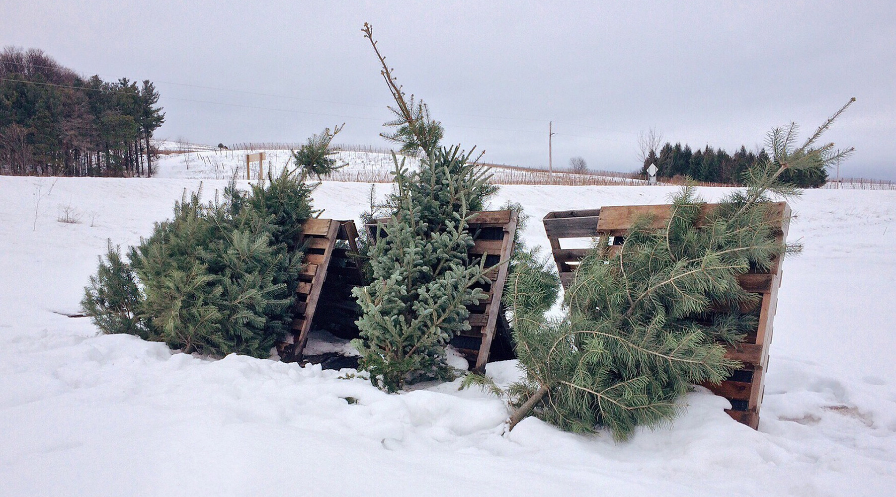 Зимний квест: россиянам предлагают разрешить самостоятельно рубить ёлки в канун Нового года