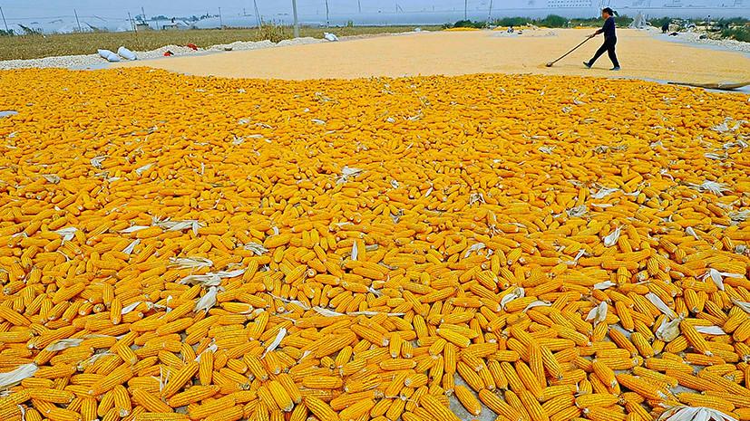 Дети кукурузы: в США рассказали о пользе производства ГМО на Украине
