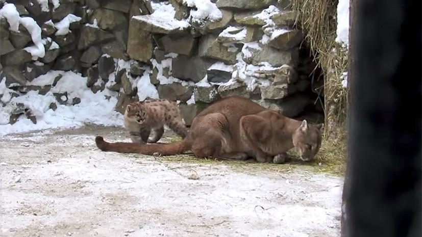 В Новосибирском зоопарке рассказали о родившемся детёныше пумы