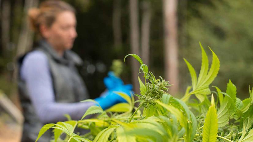 В МВД России заявили, что легализация марихуаны привела к росту преступности в странах ЕС