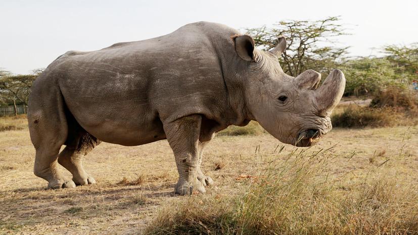 В Кении умер последний в мире самец северного белого носорога