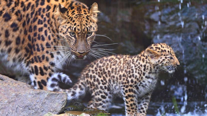 Количество леопардов в национальном парке в Приморье за год выросло на 14 особей