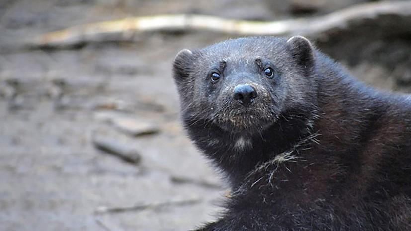 В Московском зоопарке родился детёныш росомахи